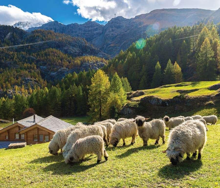 anti-aging-sheep